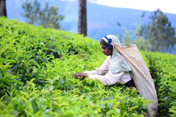 Visit Ramboda Tea factory